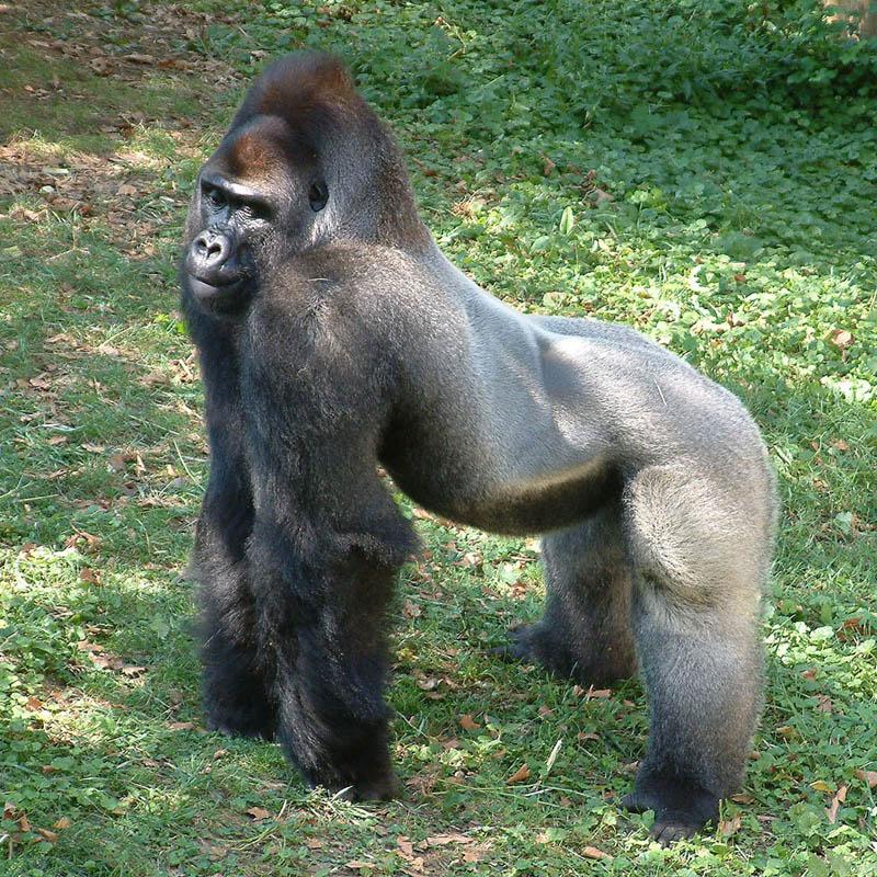836 Эти удивительные гориллы: фотофакты