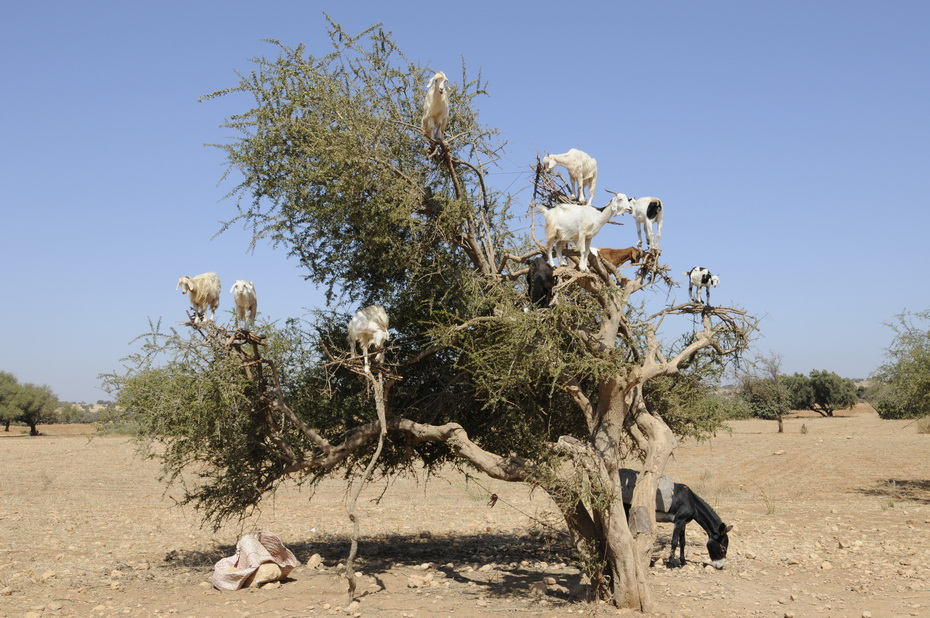 9119 Козы на деревьях в Марокко
