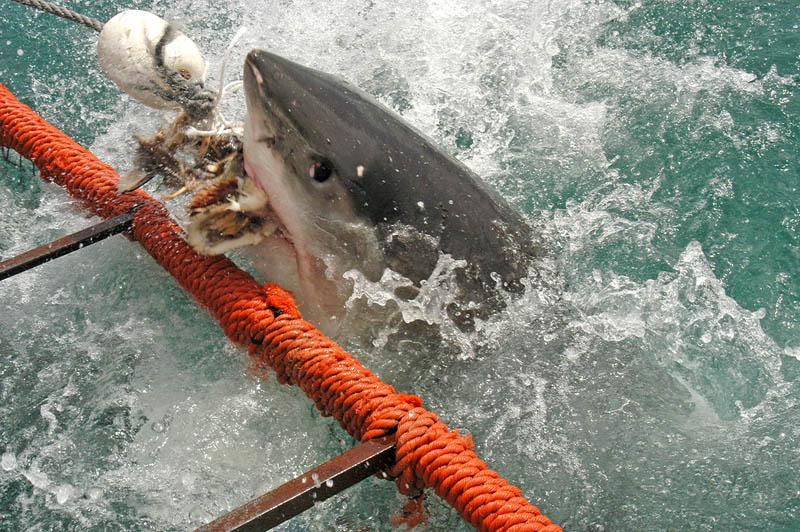 932 Повелительница морей   большая белая акула