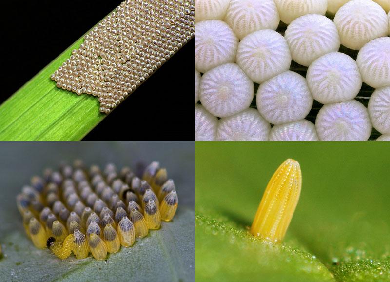 BIGPIC2 Крупным планом: Яйца насекомых