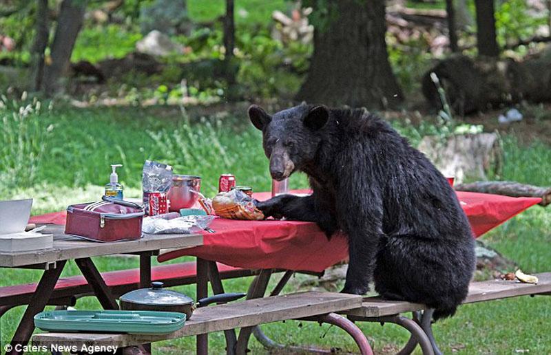 Вас не приглашали — медведь заявился на семейный пикник
