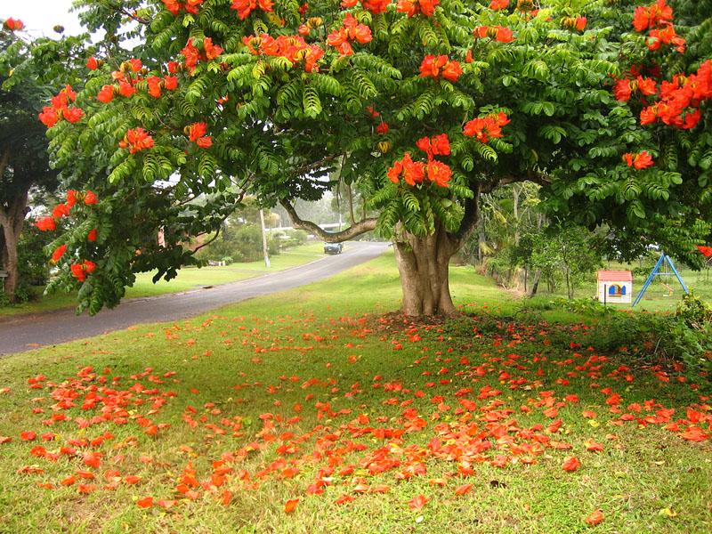 BIGPIC99 Экзотическая красота: Африканское тюльпанное дерево