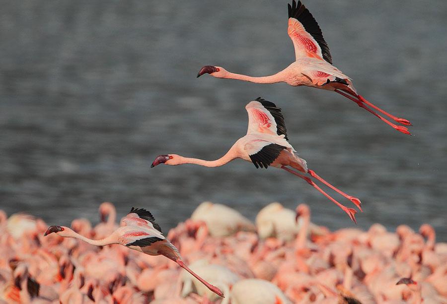 Flamingo 10 1024x698 Миллионы розовых фламинго