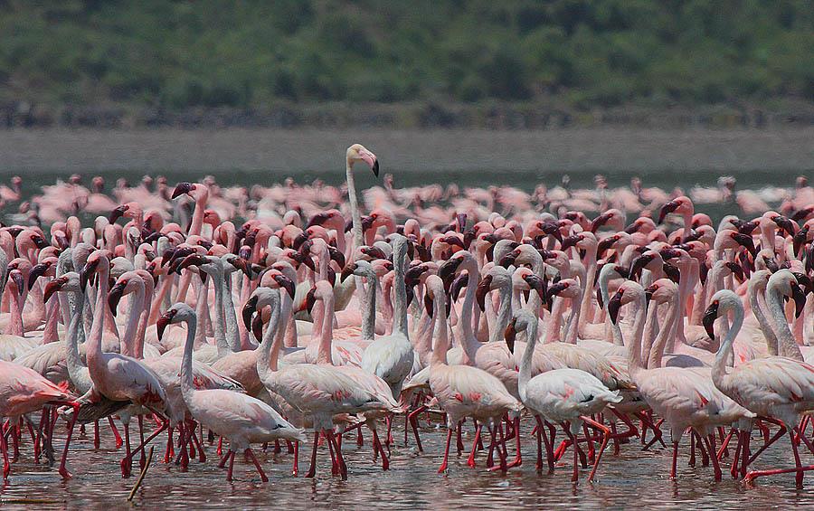 Flamingo 12 Миллионы розовых фламинго
