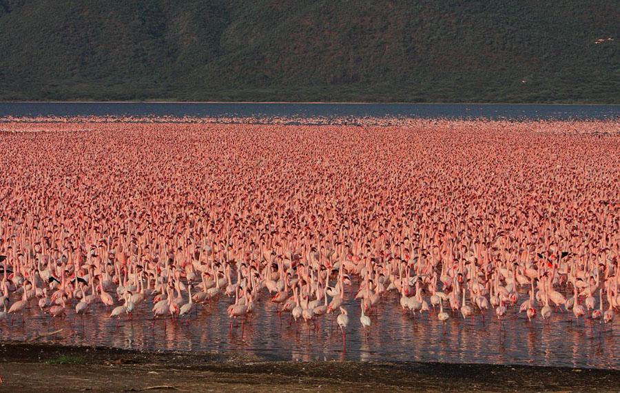 Flamingo 14 1024x648 Миллионы розовых фламинго