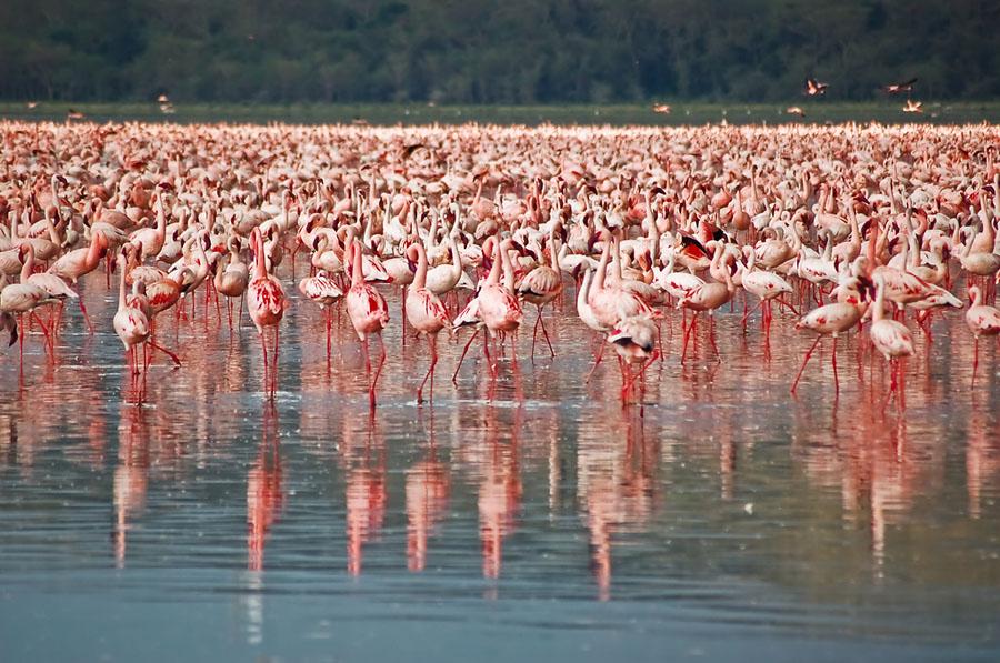 Flamingo 6 Миллионы розовых фламинго