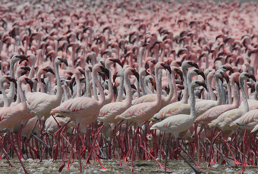 Flamingo 9 Миллионы розовых фламинго