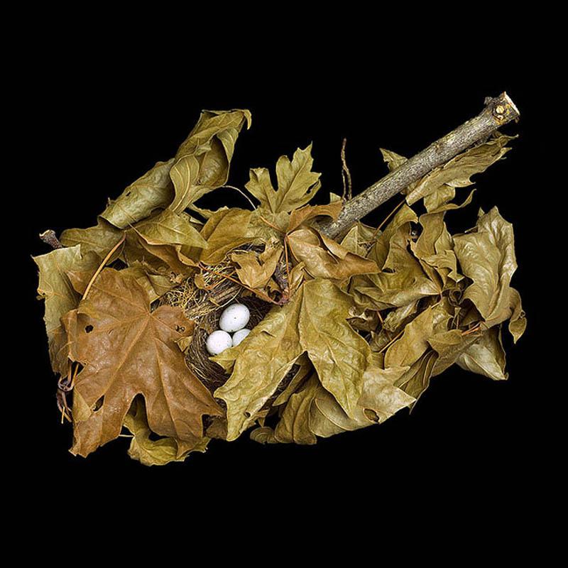 Pine Siskin in maple branch sharon beals Шедевры природной архитектуры   птичьи гнезда