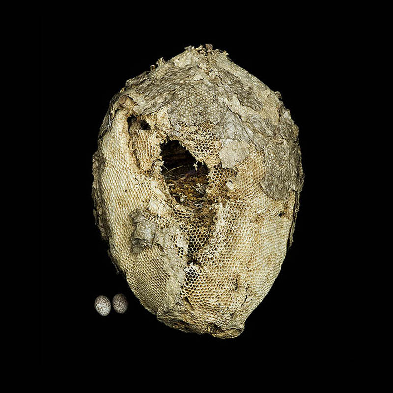 Wild Honey Comb with Golden Masked Tanager Nest inside sharon beals Шедевры природной архитектуры   птичьи гнезда