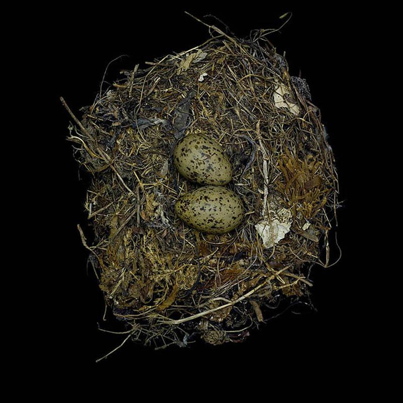 larus occidentalis sharon beals1 Шедевры природной архитектуры   птичьи гнезда