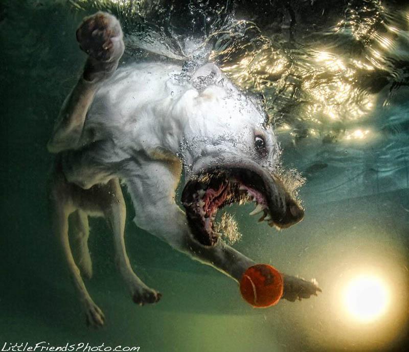 underwater photos of dogs seth casteel 4 Невероятный позитив: Собаки ловят мячик под водой