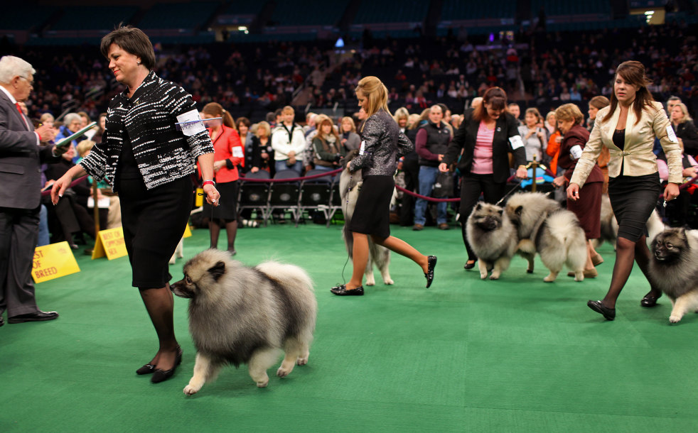 westminster dog show 09 Выставка собак Westminster Kennel Club 2012