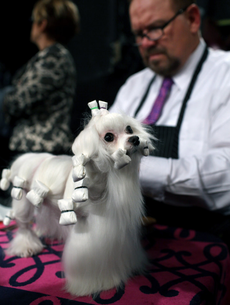 westminster dog show 12 Выставка собак Westminster Kennel Club 2012