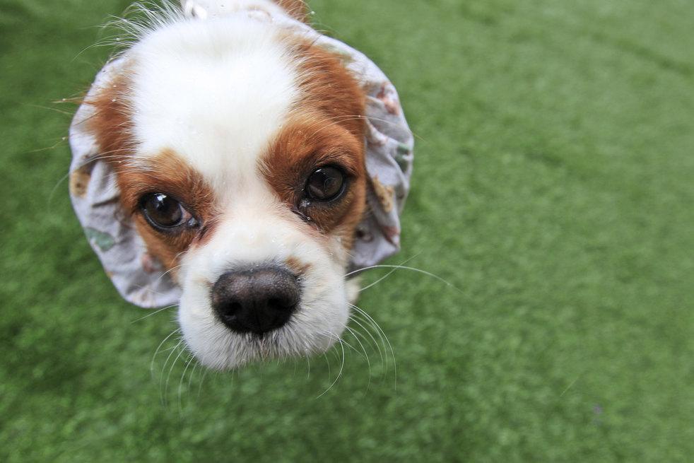 Выставка собак «Westminster Kennel Club2012»