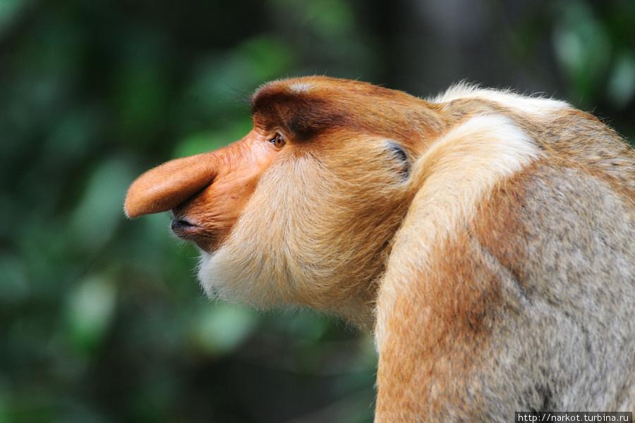 0140 Эмоциональные обезьяны носачи