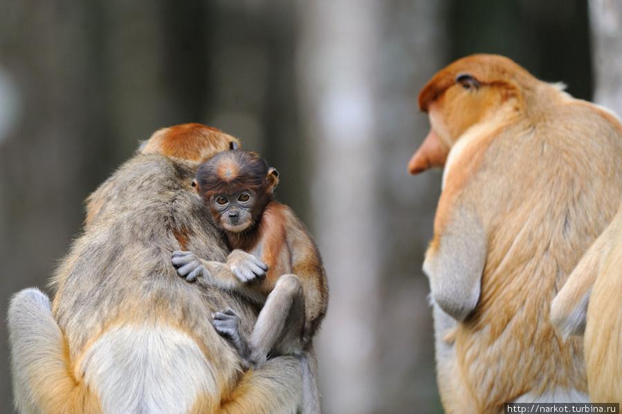 0312 Эмоциональные обезьяны носачи