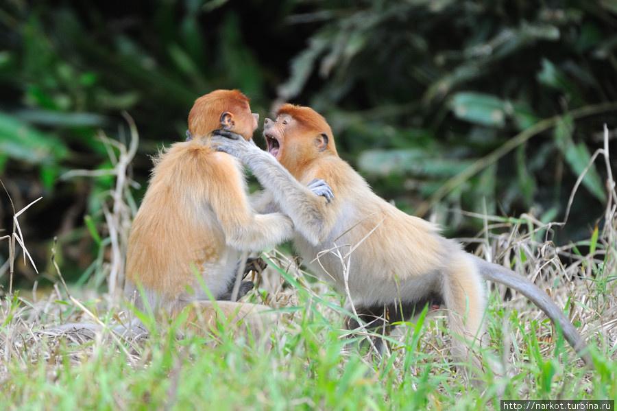 0510 Эмоциональные обезьяны носачи