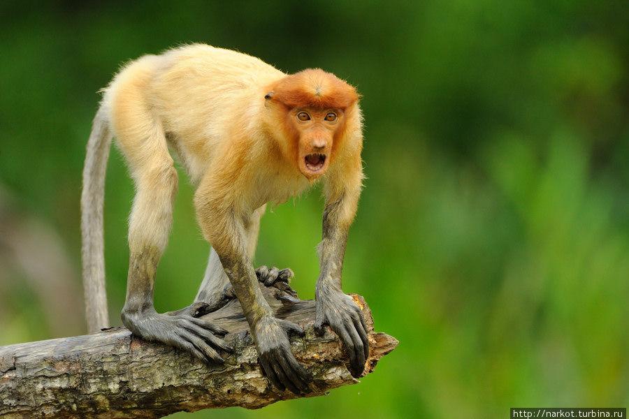 06.photo  Эмоциональные обезьяны носачи