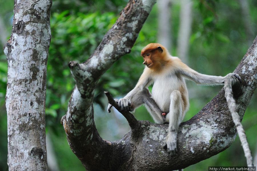 0710 Эмоциональные обезьяны носачи