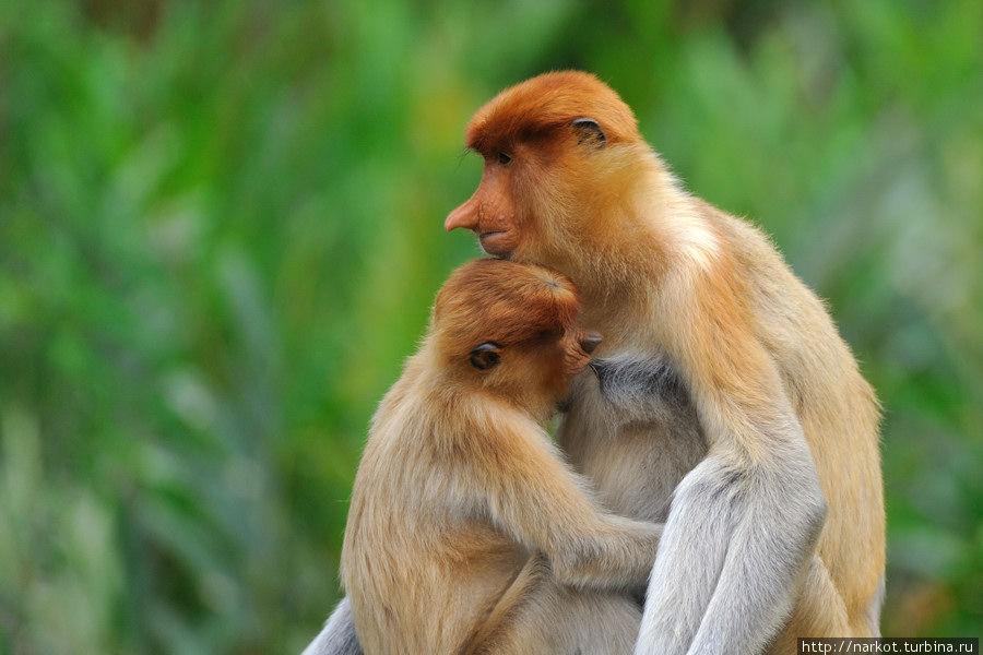 0910 Эмоциональные обезьяны носачи