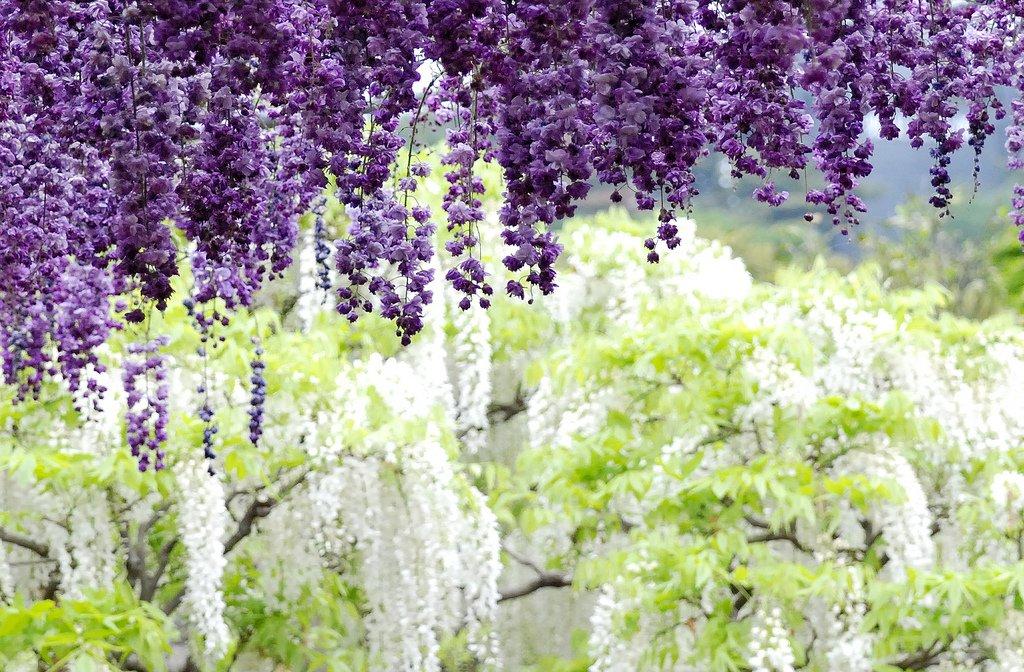 10141 Парк цветов Асикага