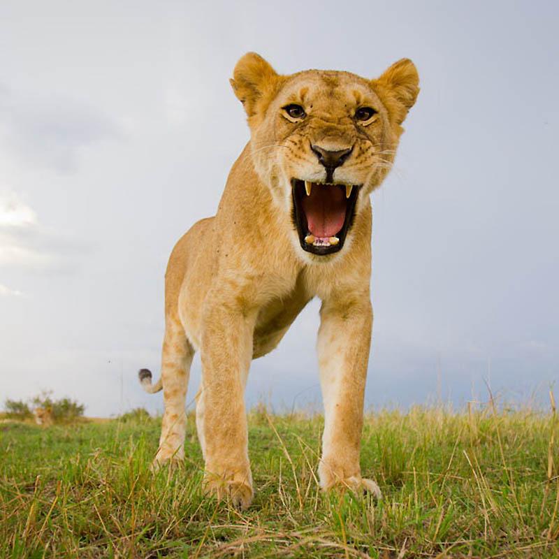 103 Львы крупным планом