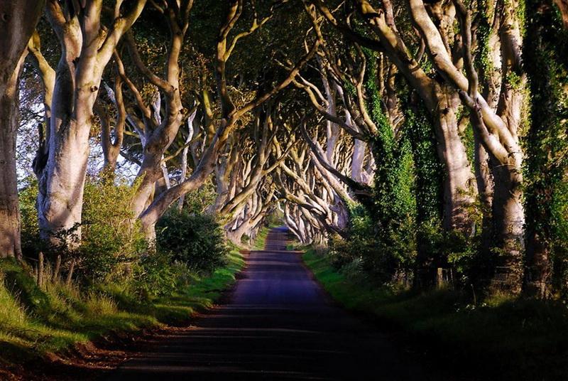 1101 Древесный тоннель   аллея из буков в Ирландии