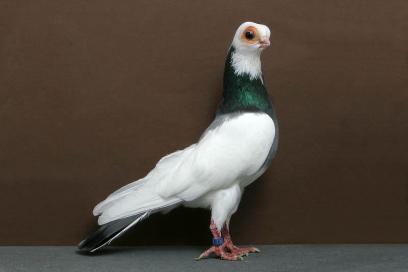 11117 30 голубей чемпионов