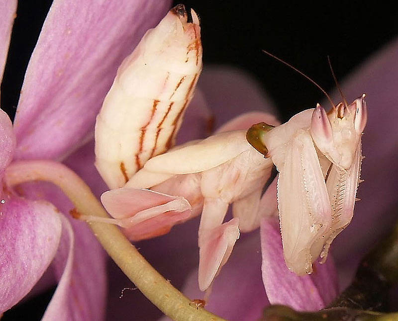 11126 Орхидейные богомолы