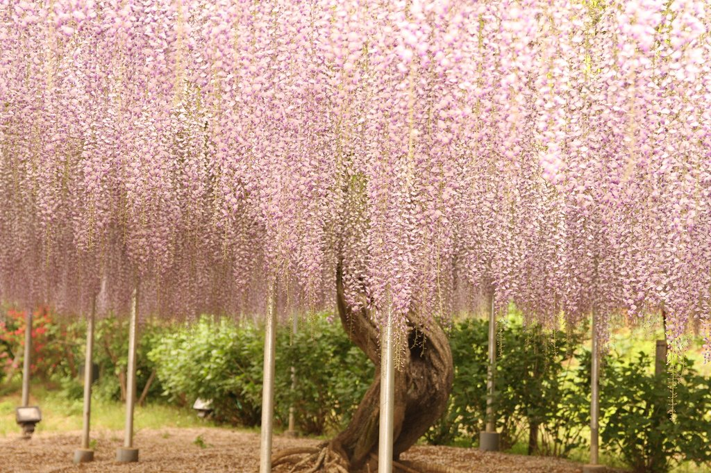 11162 Парк цветов Асикага