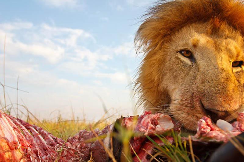 117 Львы крупным планом