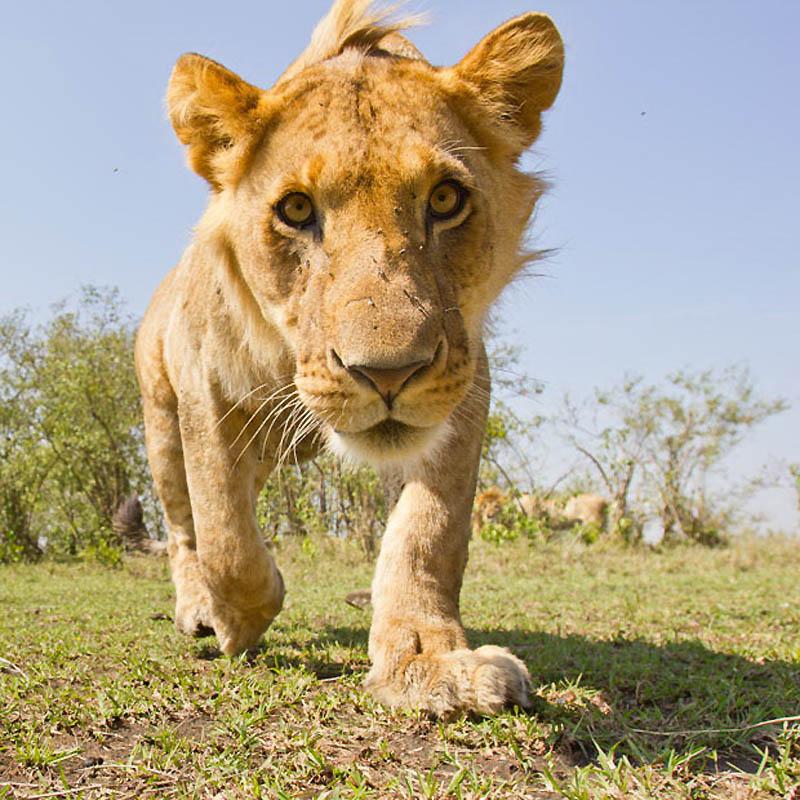 118 Львы крупным планом