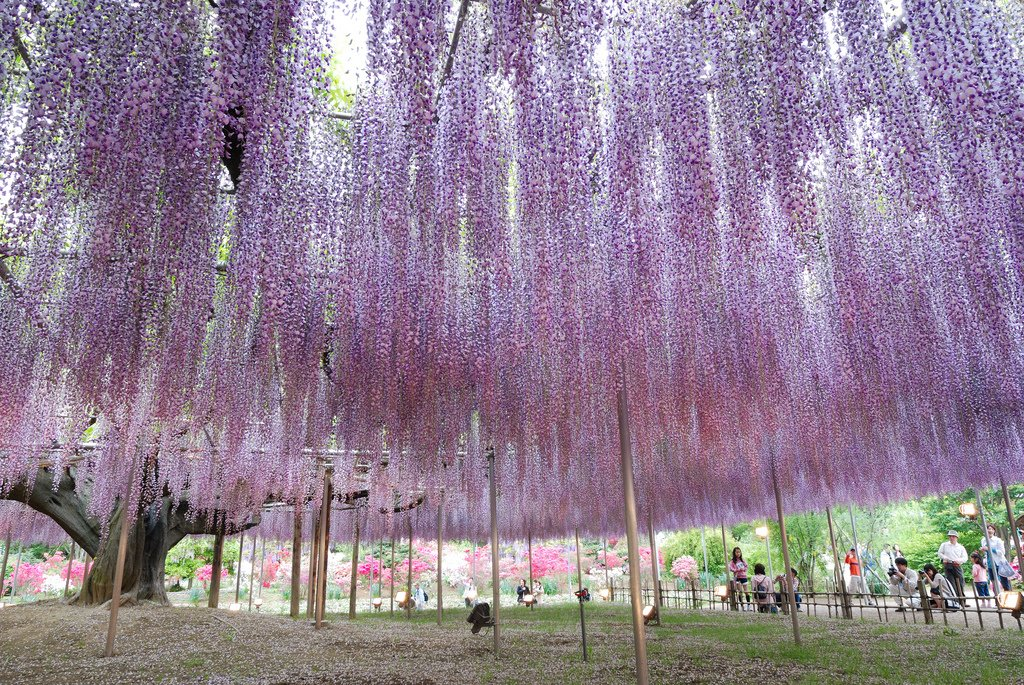 12133 Парк цветов Асикага