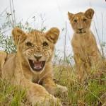 Львы крупным планом