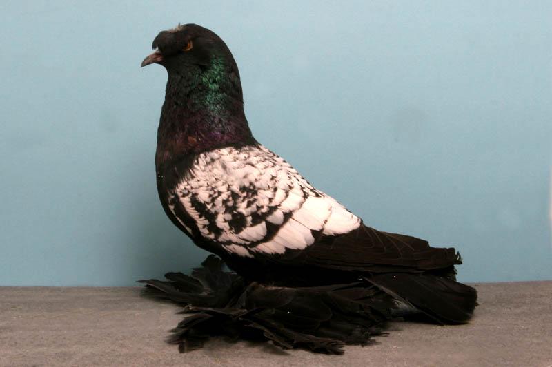 1368 30 голубей чемпионов