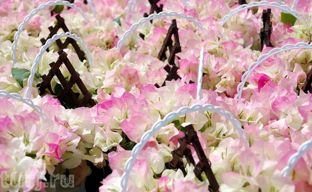 13 глициния цветет с середины апреля до