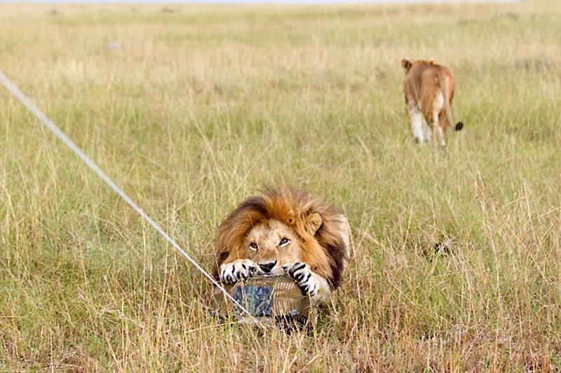 143 Львы крупным планом