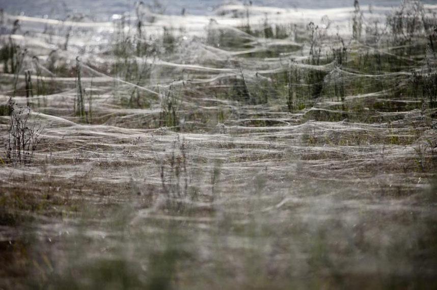 1451d539cbf74ea0ab70900e9c33339bbe46a982 Нашествие пауков после наводнения в Австралии