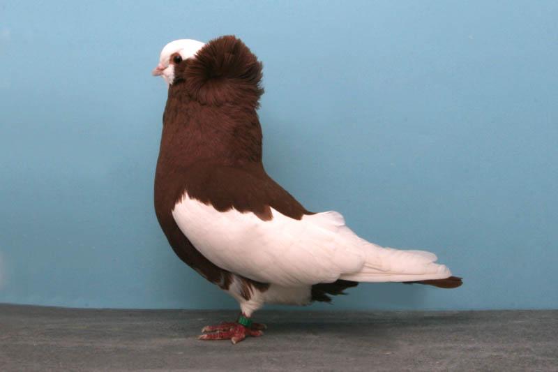 1464 30 голубей чемпионов