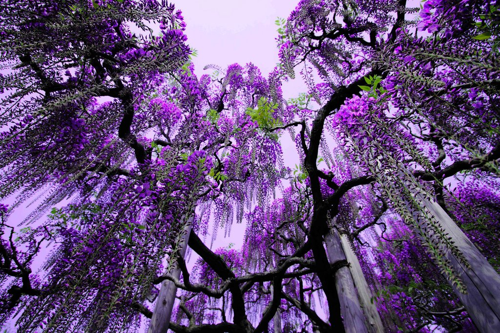 1599 Парк цветов Асикага