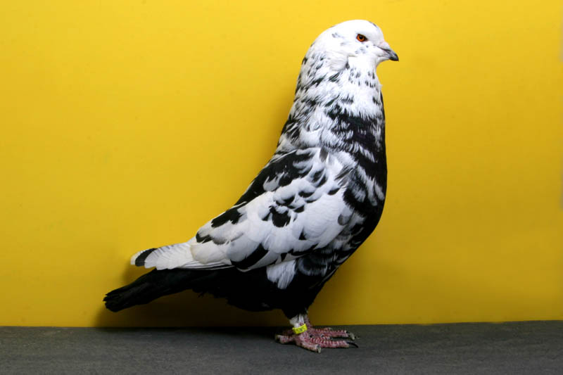 1654 30 голубей чемпионов