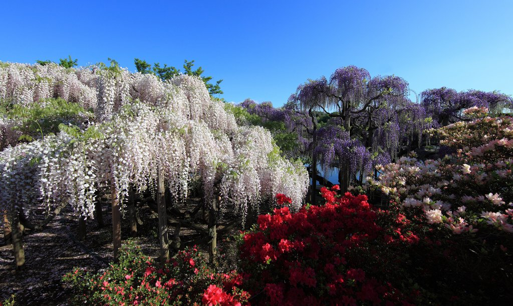 1687 Парк цветов Асикага
