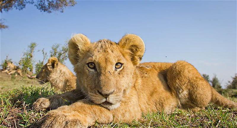 173 Львы крупным планом