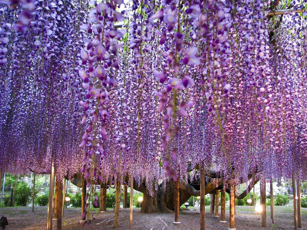 1781 Парк цветов Асикага