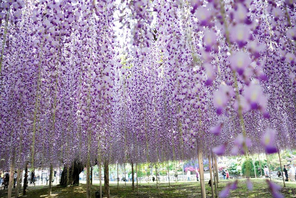 1875 Парк цветов Асикага