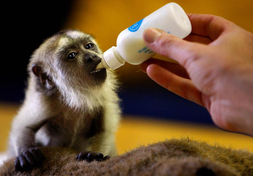 1900 Маленькая обезьянка ревун