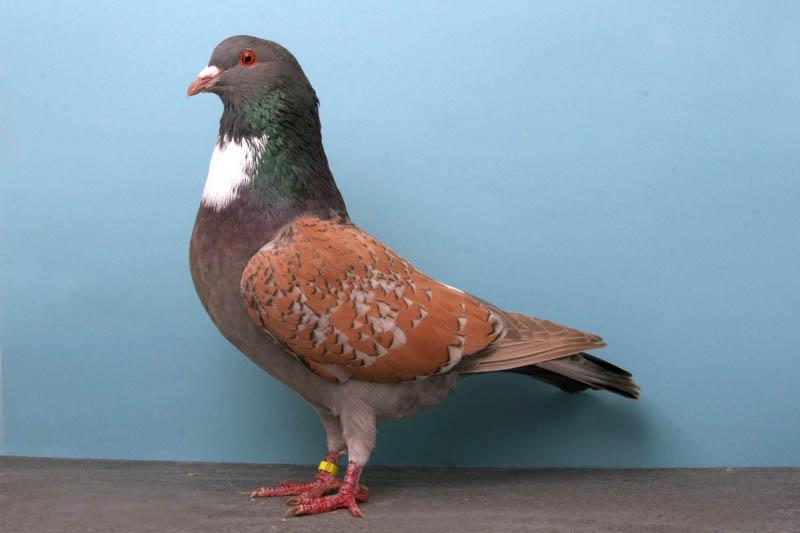 1946 30 голубей чемпионов