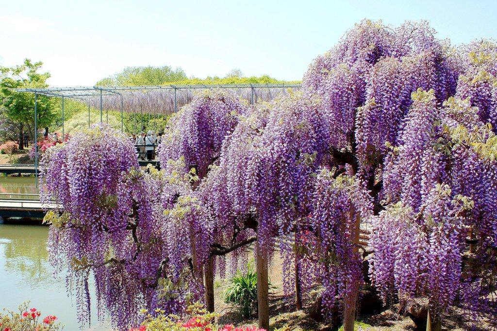 1974 Парк цветов Асикага