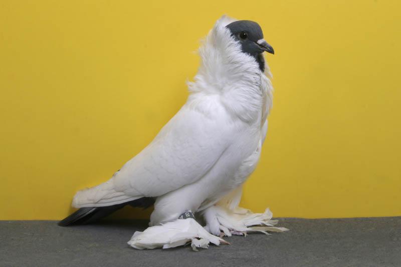 2044 30 голубей чемпионов