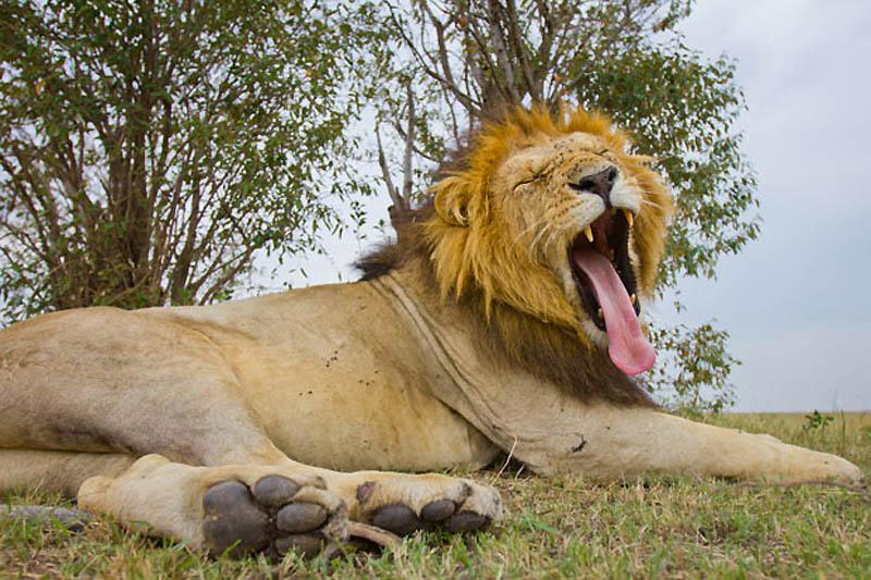 223 Львы крупным планом